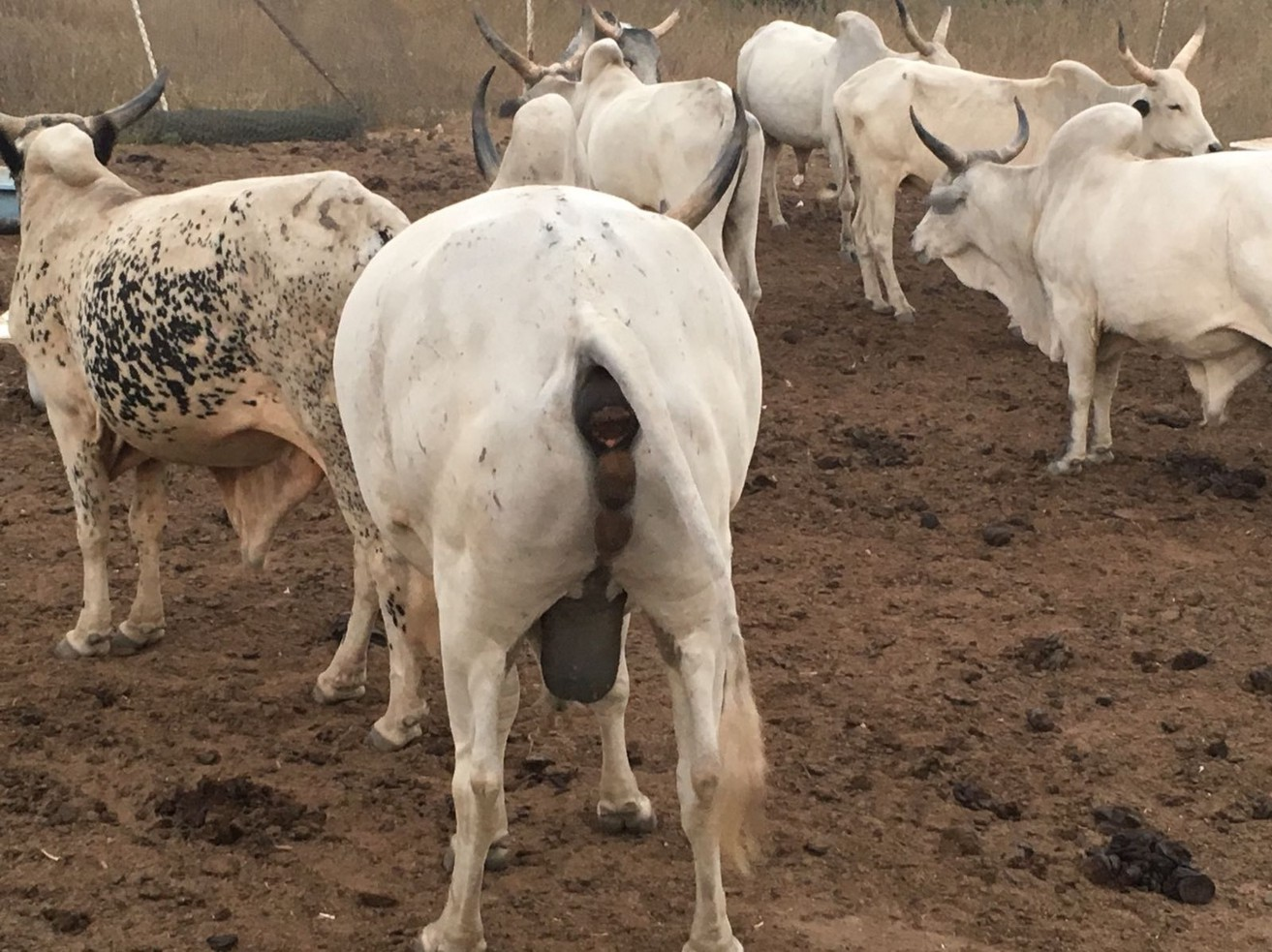 On Ruga, Cattle Herders, Fulanization and Dangers of Hysterical