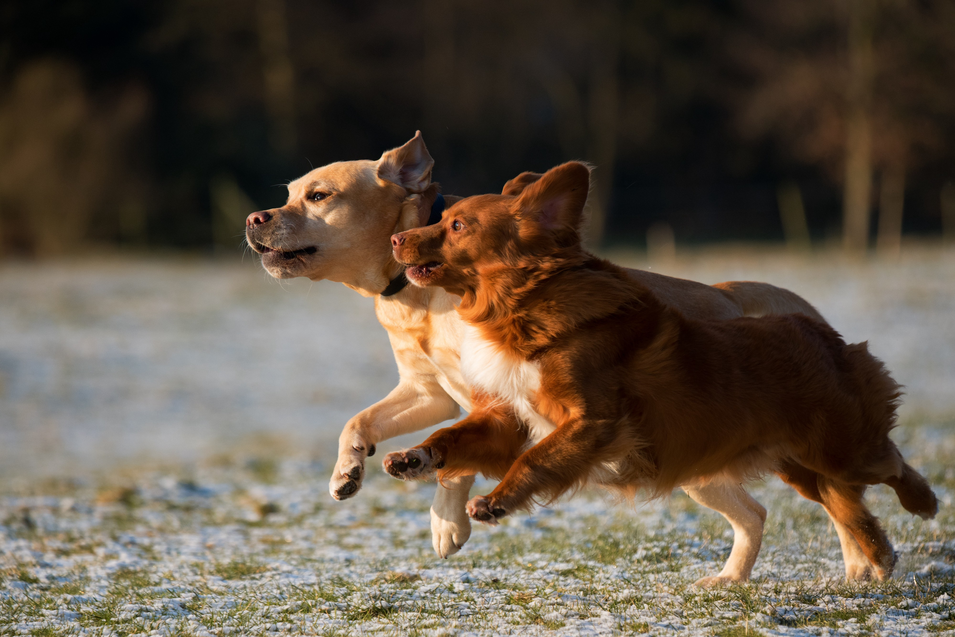Two dogs running.