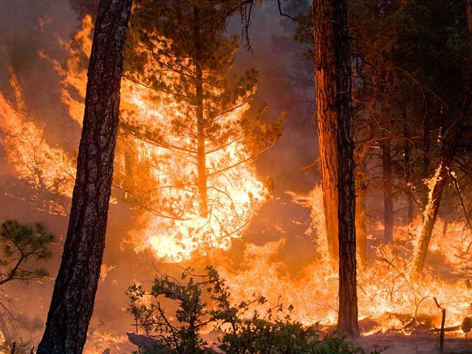 flames consume a stand of trees in a forest fire