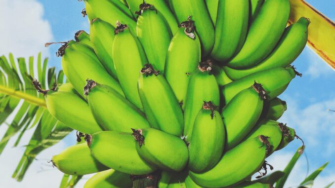 health benefits of bananas, are bananas good for you, banana benefits, nutrients in bananas, what nutrients are in bananas