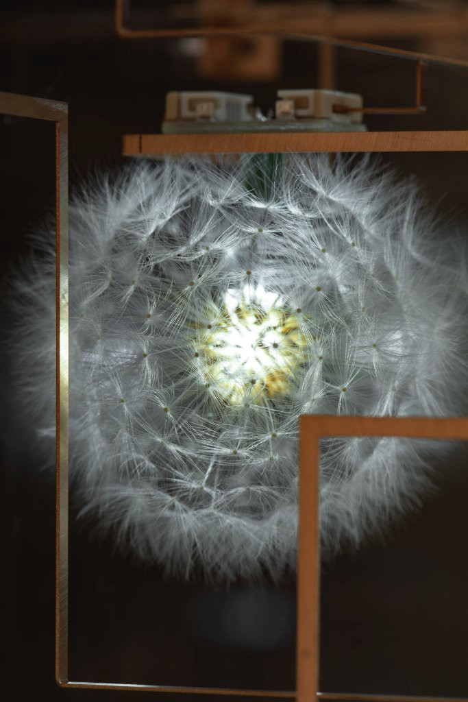 A dandelion with a light at its center.