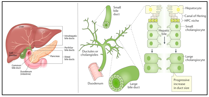 Schematic of the bile duct, the hepatocytes, and the cholangiocytes.