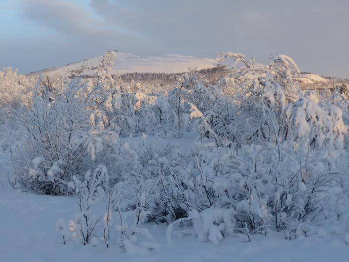 A landscape photo of snow covered trees in Scandinavian Lapland.