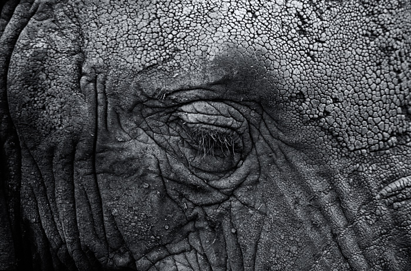 Black and White Elephant Face. Is This It? By Rena Willis