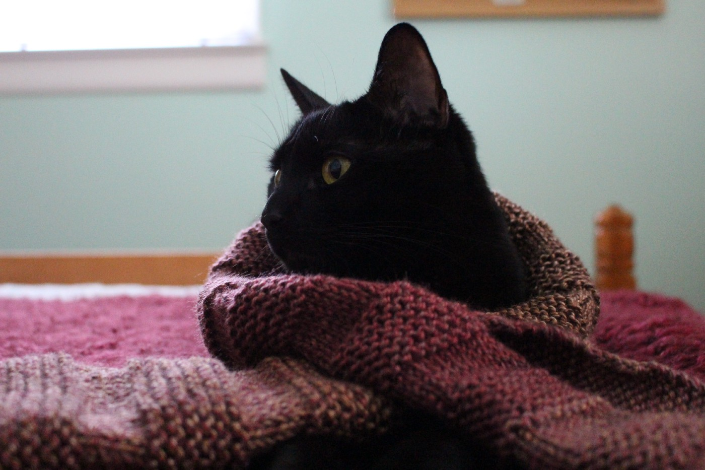 A black cat is wrapped in a burgundy knitted blanket.