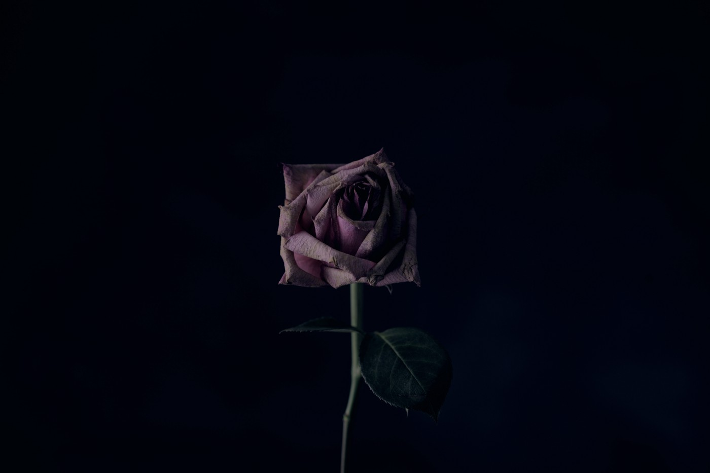 a dark-hued rose on a solid black backdrop