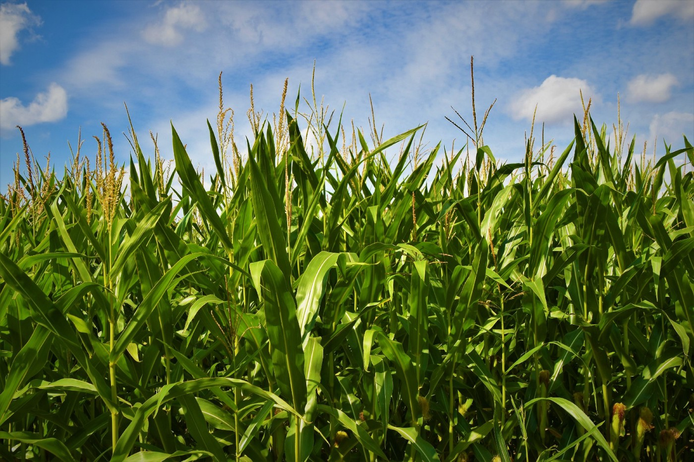 Corn Grows at Night: Reflections on Flood, Drought, and Climate Change