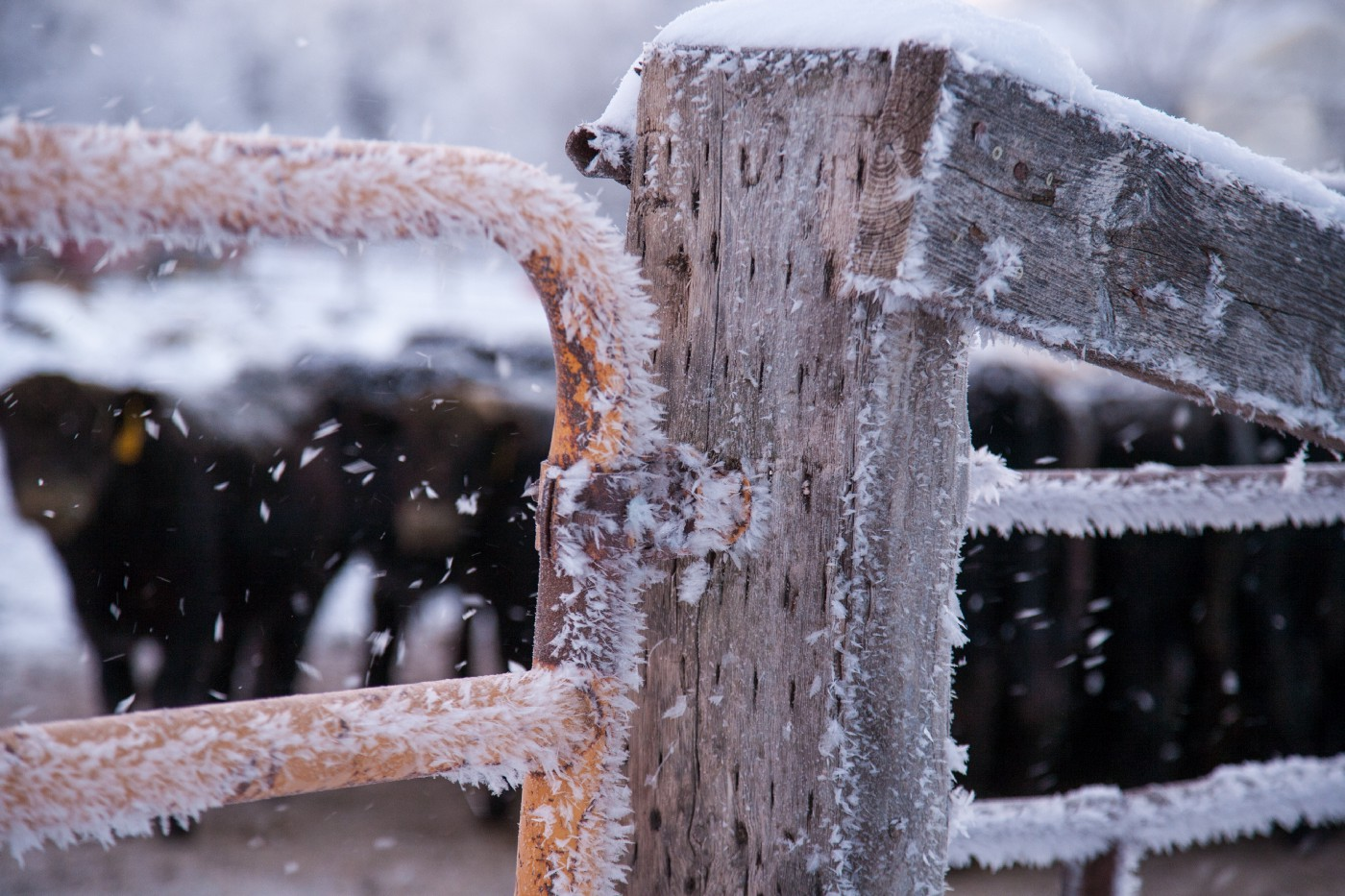 Cattle behind a frozen fence