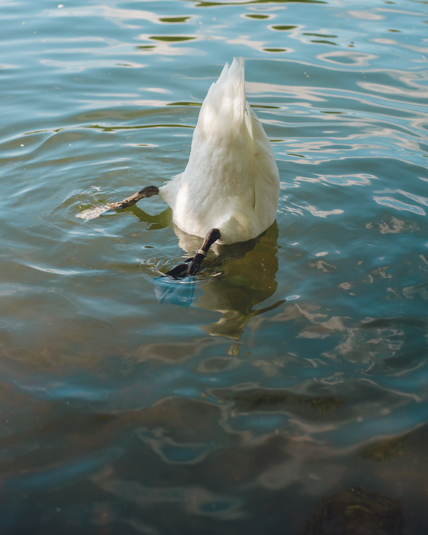 A goose's white butt sticking out of water.