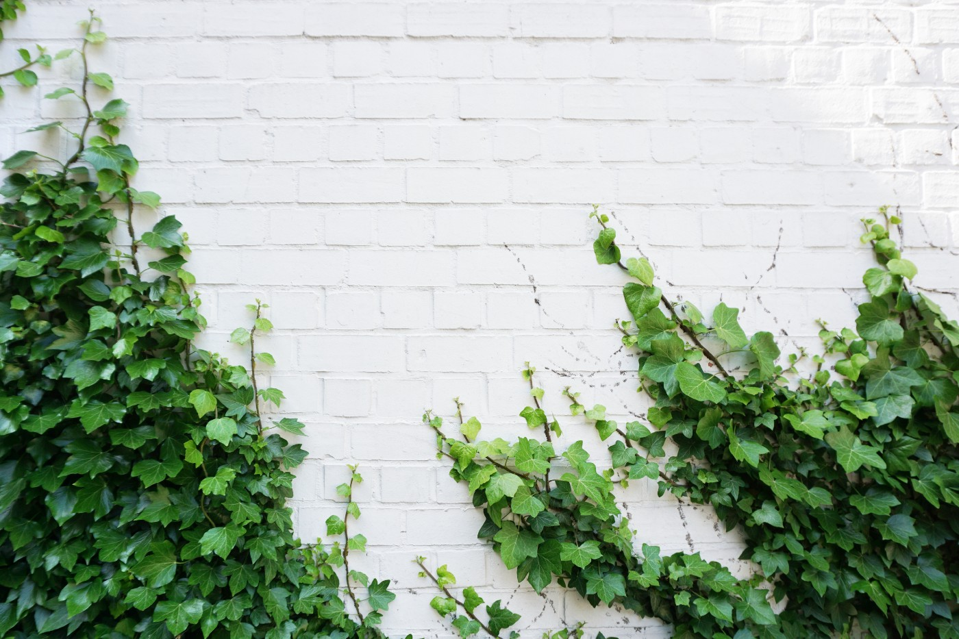 ivy growing up a white brick wall