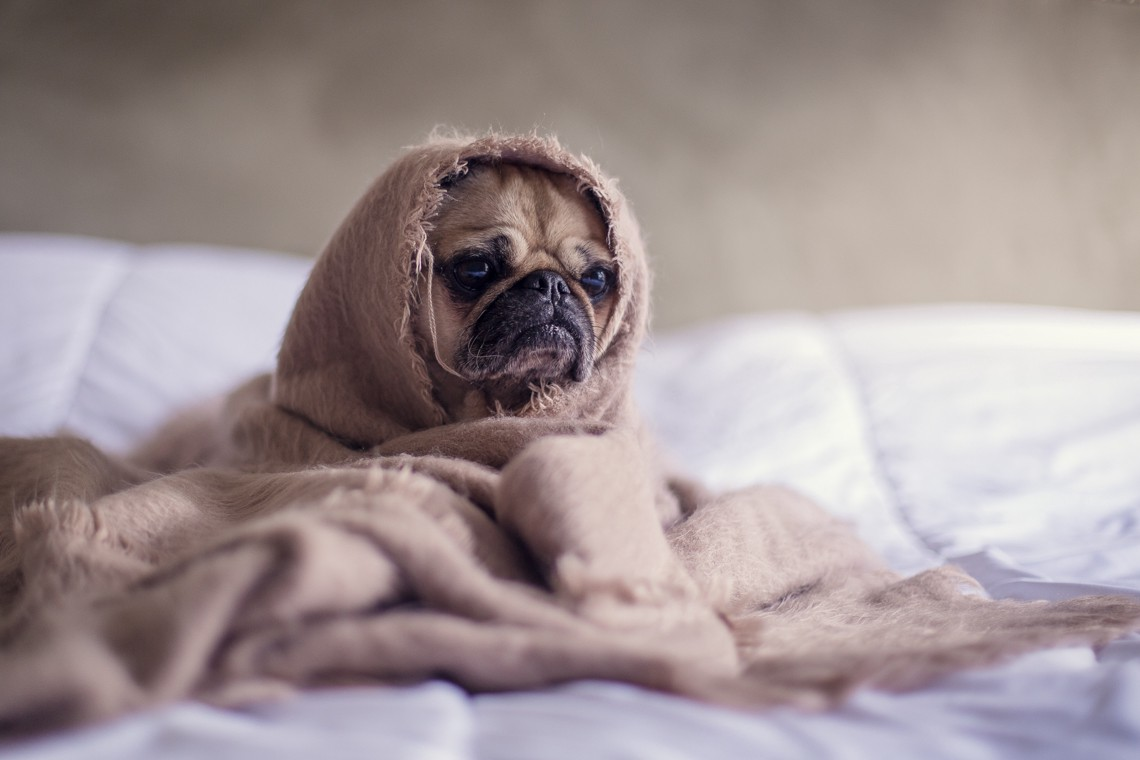 Pug wrapped in a brown blanket.