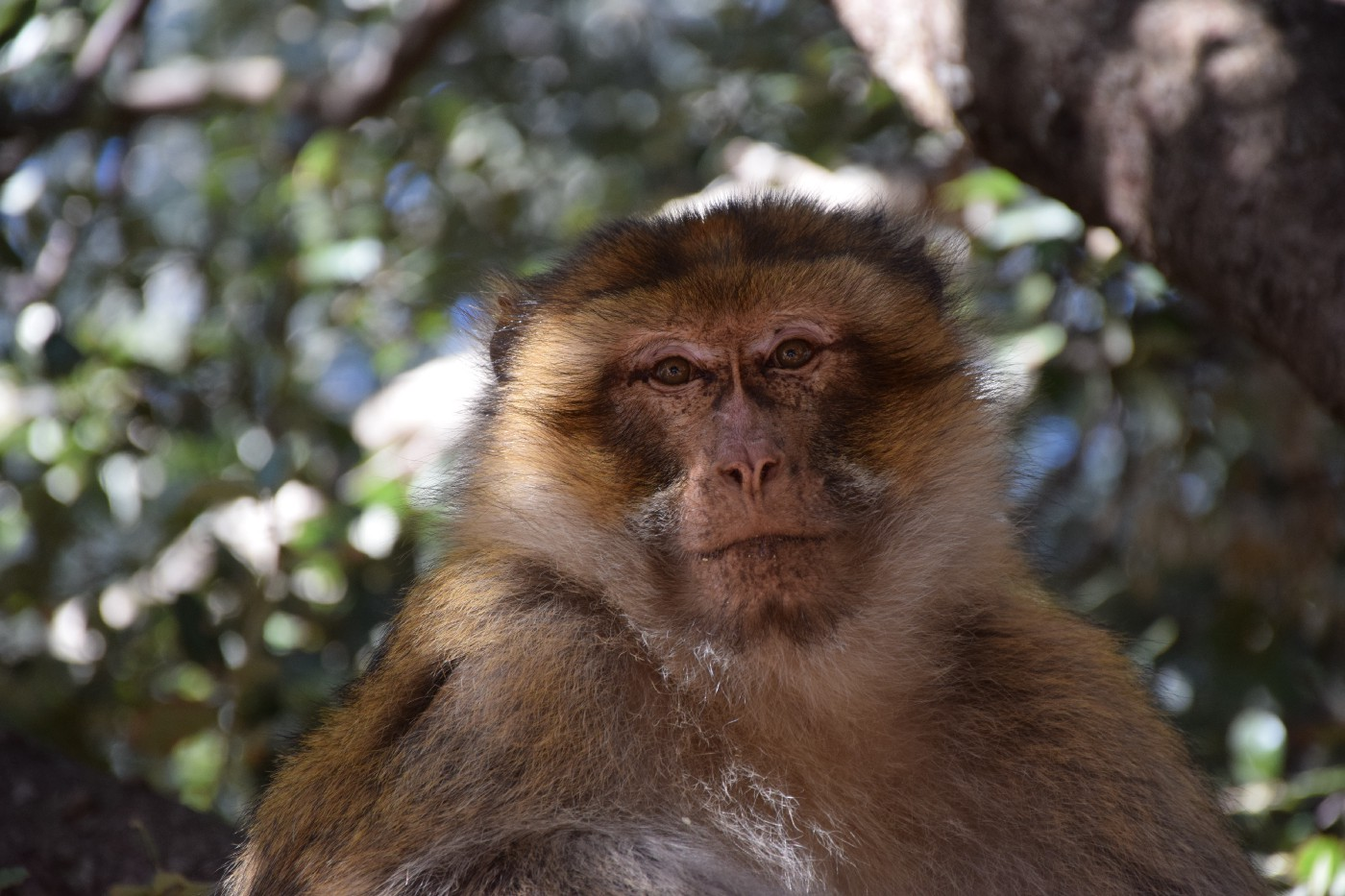A macaque looking at the camera.