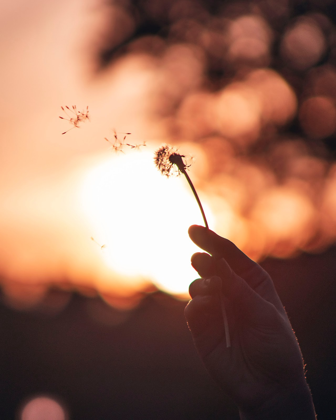 Person at sunset holding a dandelion with petals flying away in the breeze