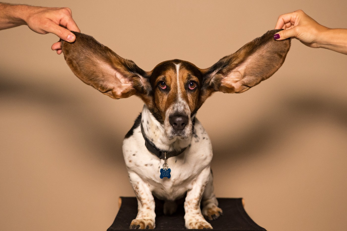 Basset hound with very long ears held up by two human hands