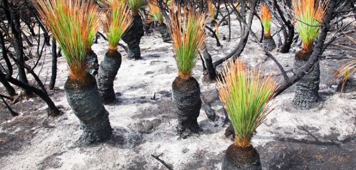 Green sprouts from the Australian landscape after a cultural burn.