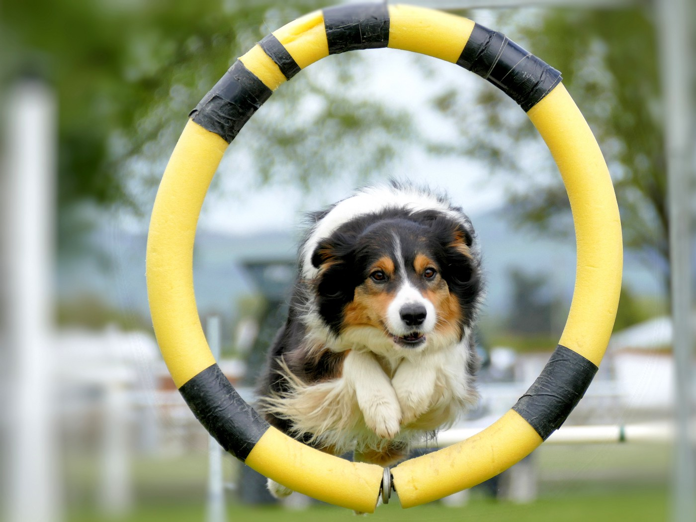 tri-color dog jumping through a hoop