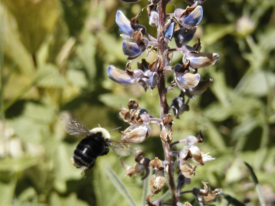 A large, fuzzy bumble bee hovers in front of a purple flowering plant