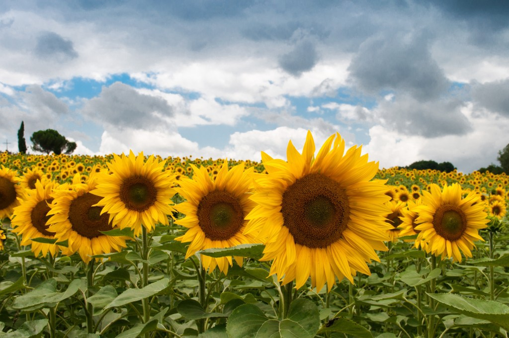 a field of sunflowers under a cloudy sky