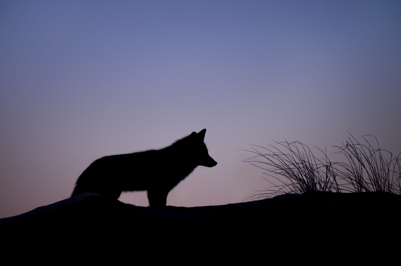 The silhouette of coyote standing on hill with purple sky behind it.