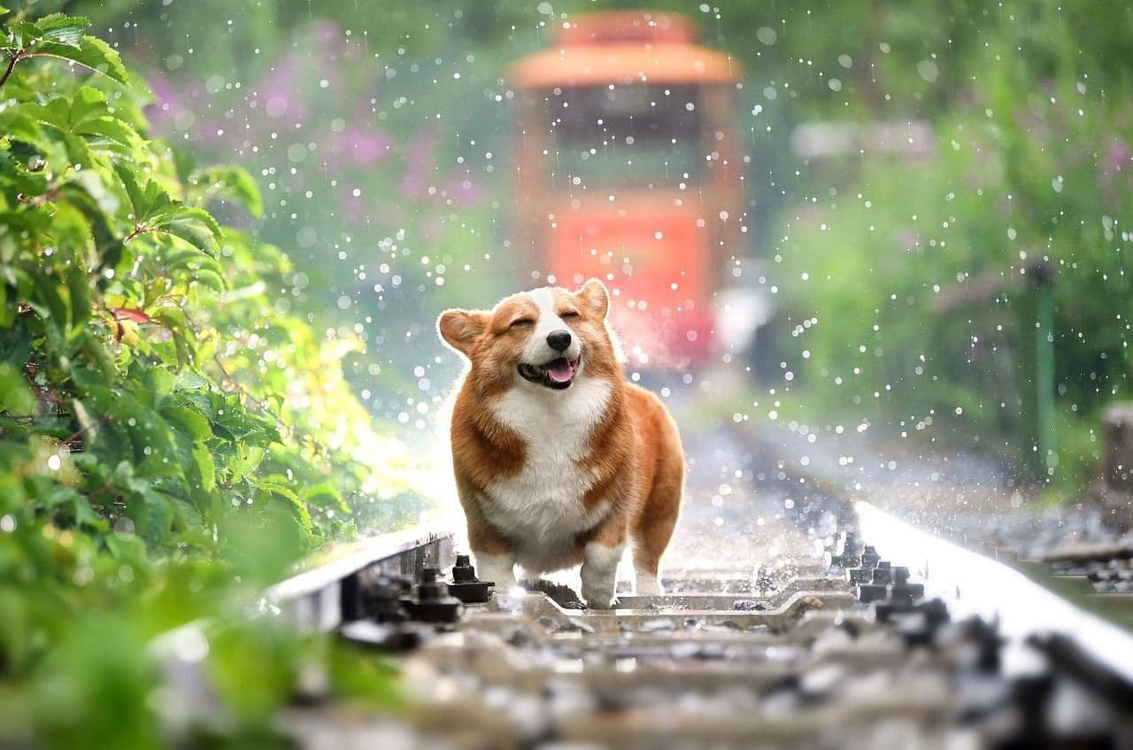 Happy corgi dog