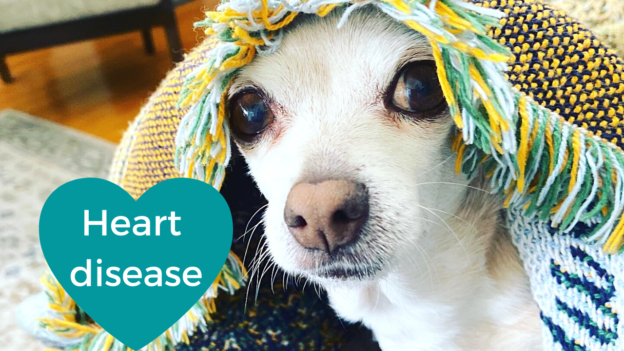 Your Dog and Heart Disease - Easy Prevention, Common Symptoms, and Treatment Options