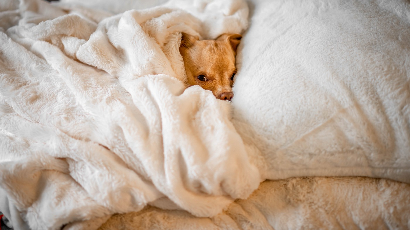 photo of a chihuahua's head peaking out from a pile of blankets.