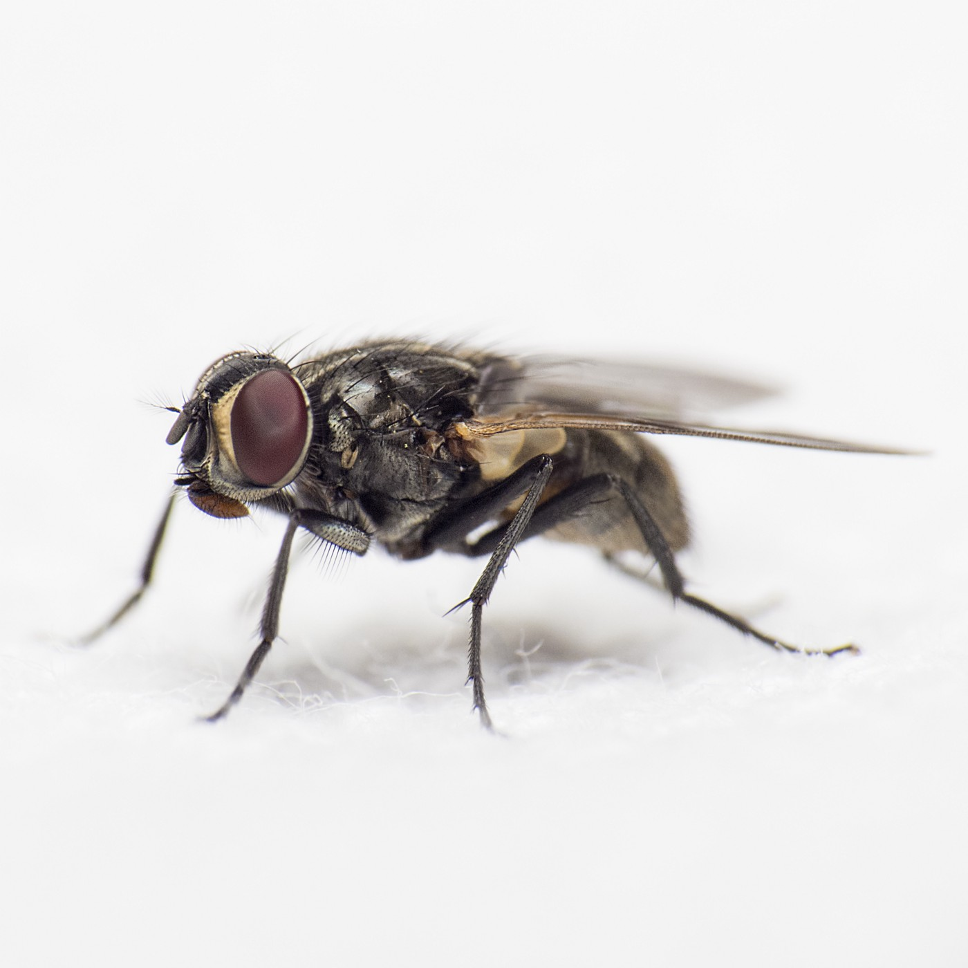 A fly on a white background