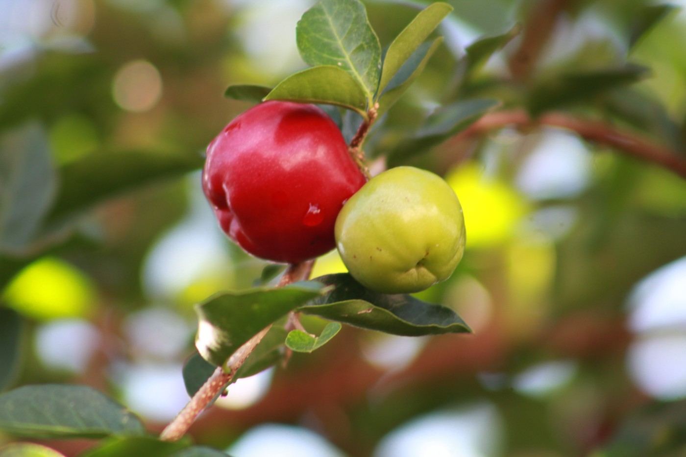 Two plums on a tree, one ripe and one unripe