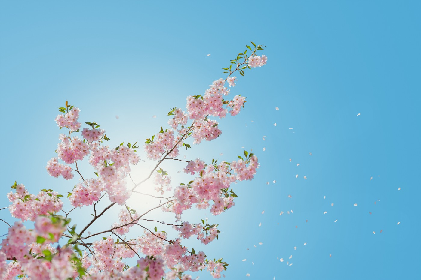 Photo of blooming cherry blossoms against a bright blue sky.