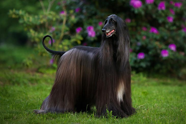 Black Afghan Hound with long fur, long snout, and a curled tail.