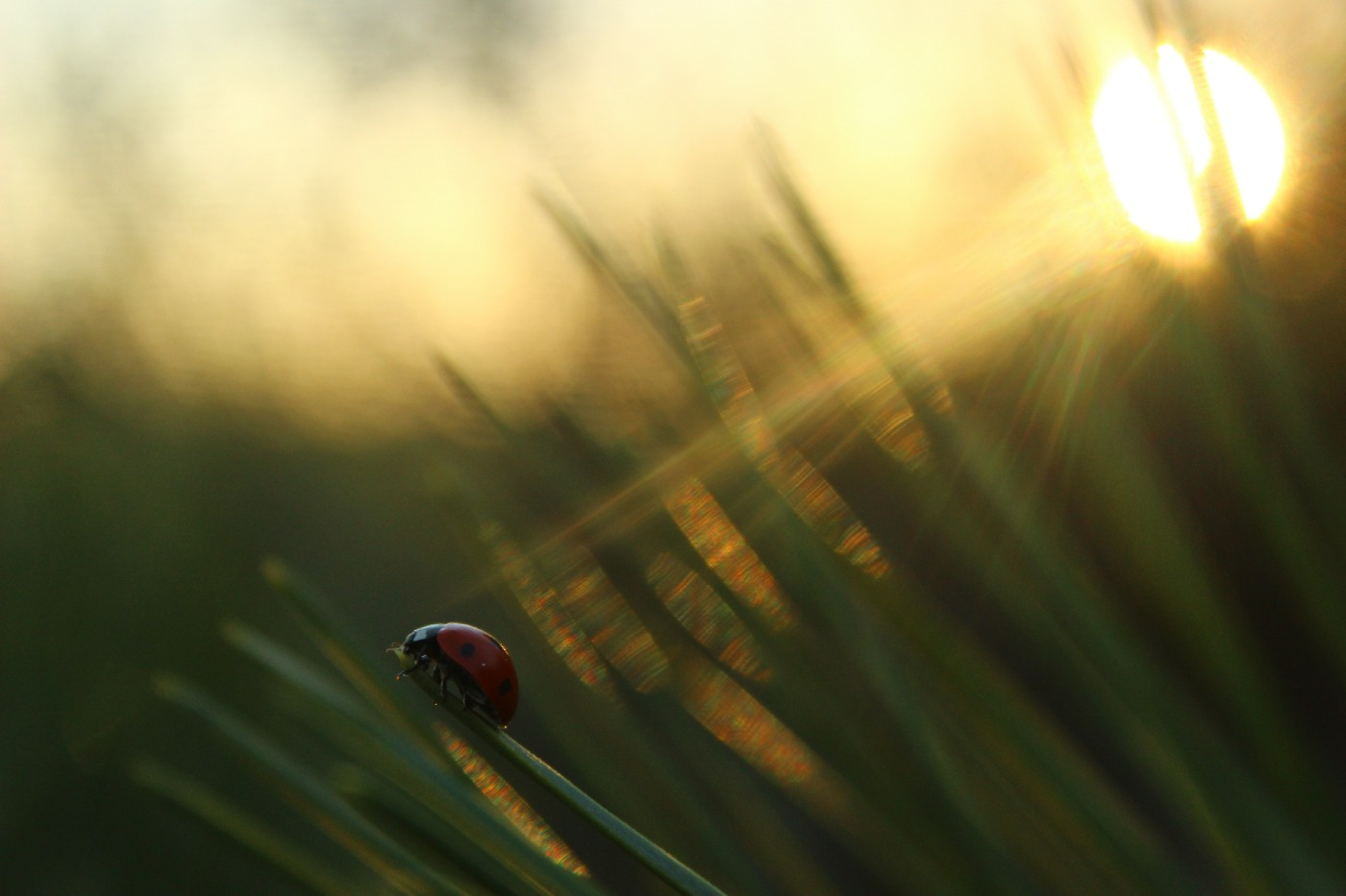 Ladybug standing on tall grass with the sun peeking through.