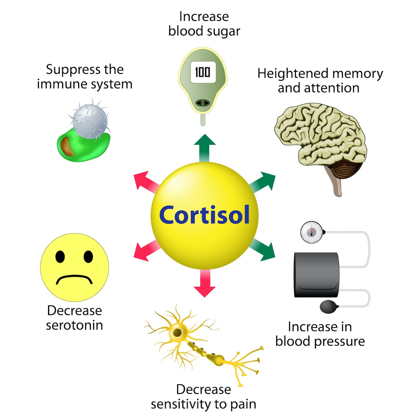Infographic showing Cortisol Functions. Cortisol is released in response to stress and low blood-glucose concentration.