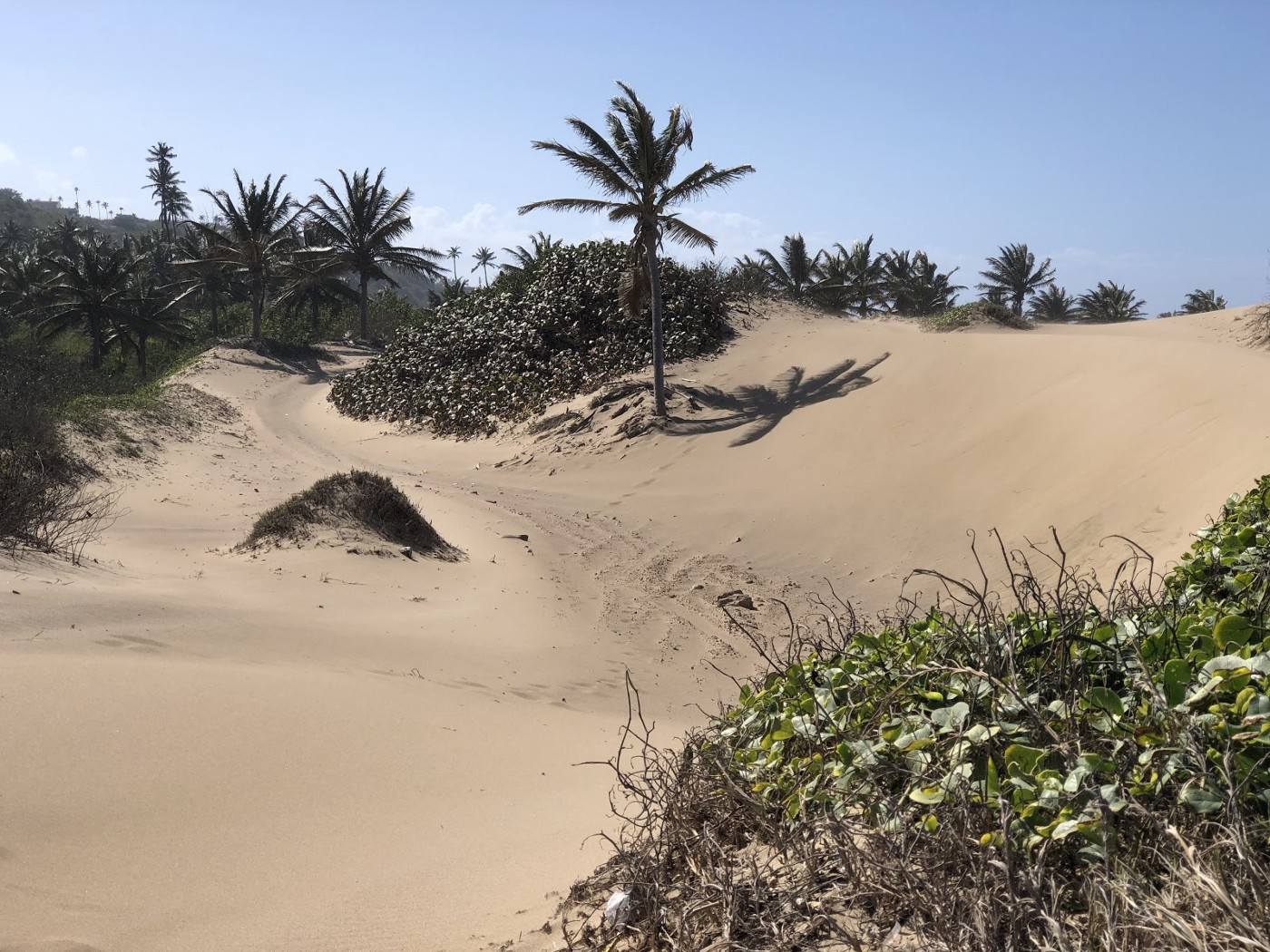 Against the backdrop of a cloudless blue sky, the sun washes over an enormous dune and the handful of palm trees that stabilize it.
