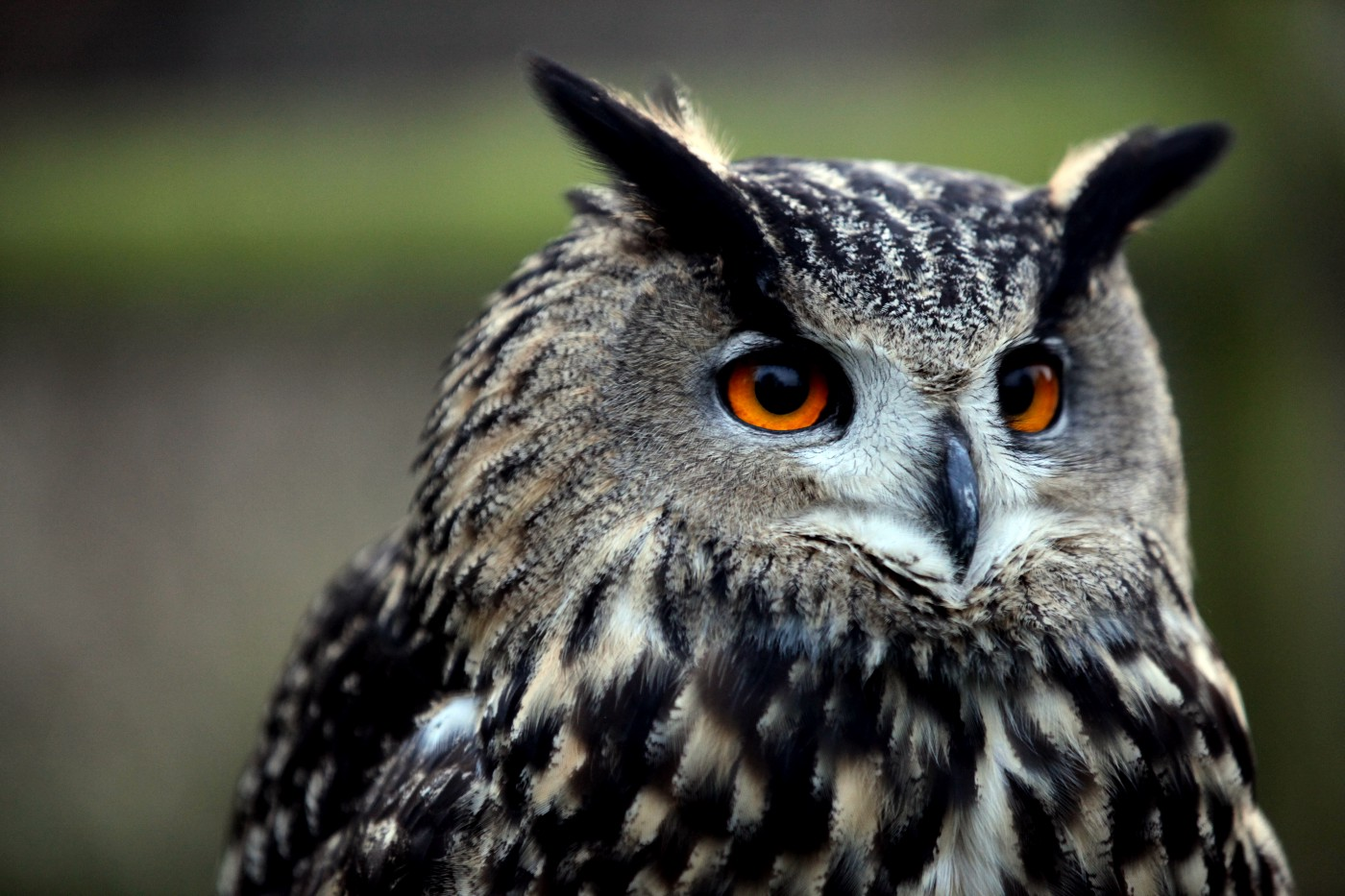 owl with big eyes looking for prey