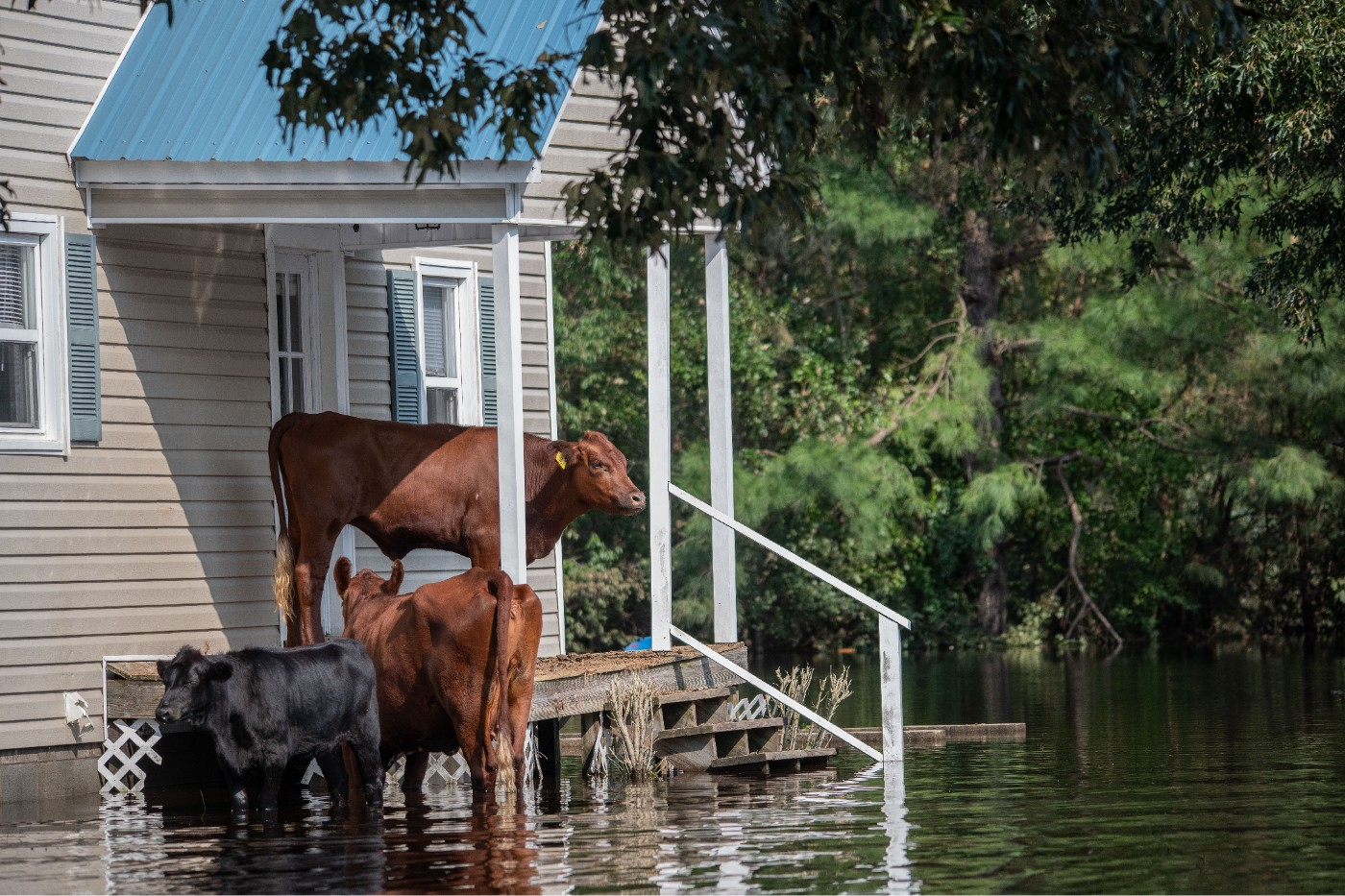 Cows stand on the front porch of a house surrounded by flood water.