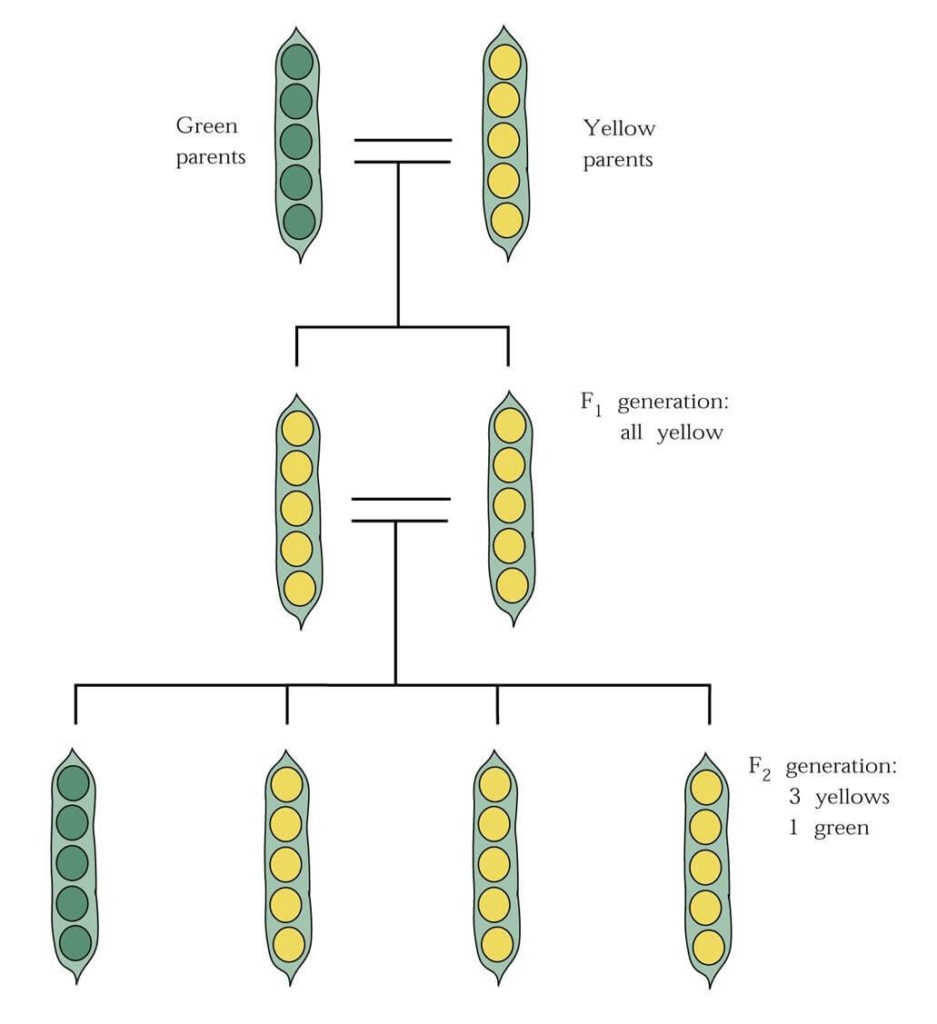 pea plant traits were the basis of mendel's 8-year genetic experiments
