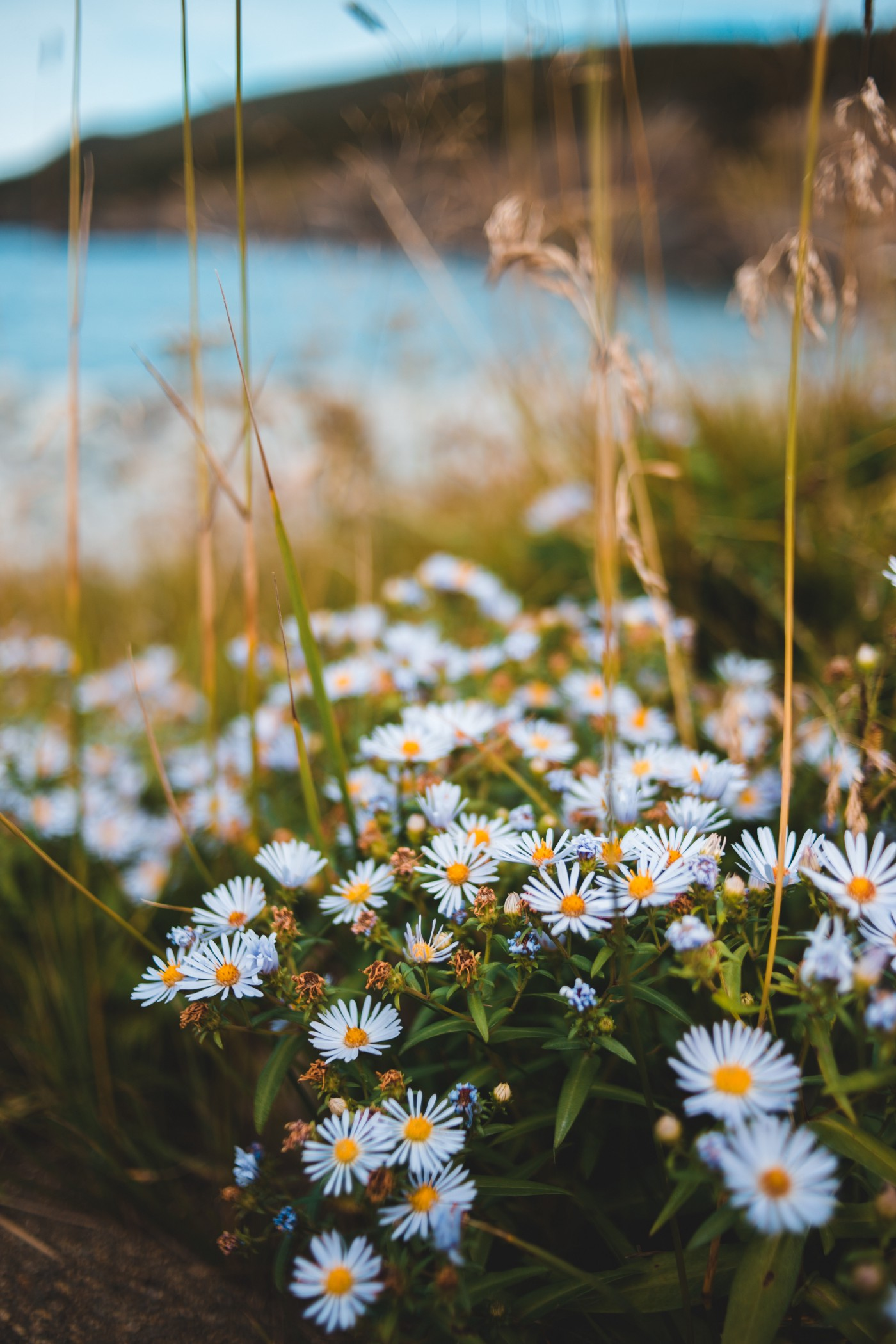 Field of wild little daisies, with grasses interspersed, over the ocean.