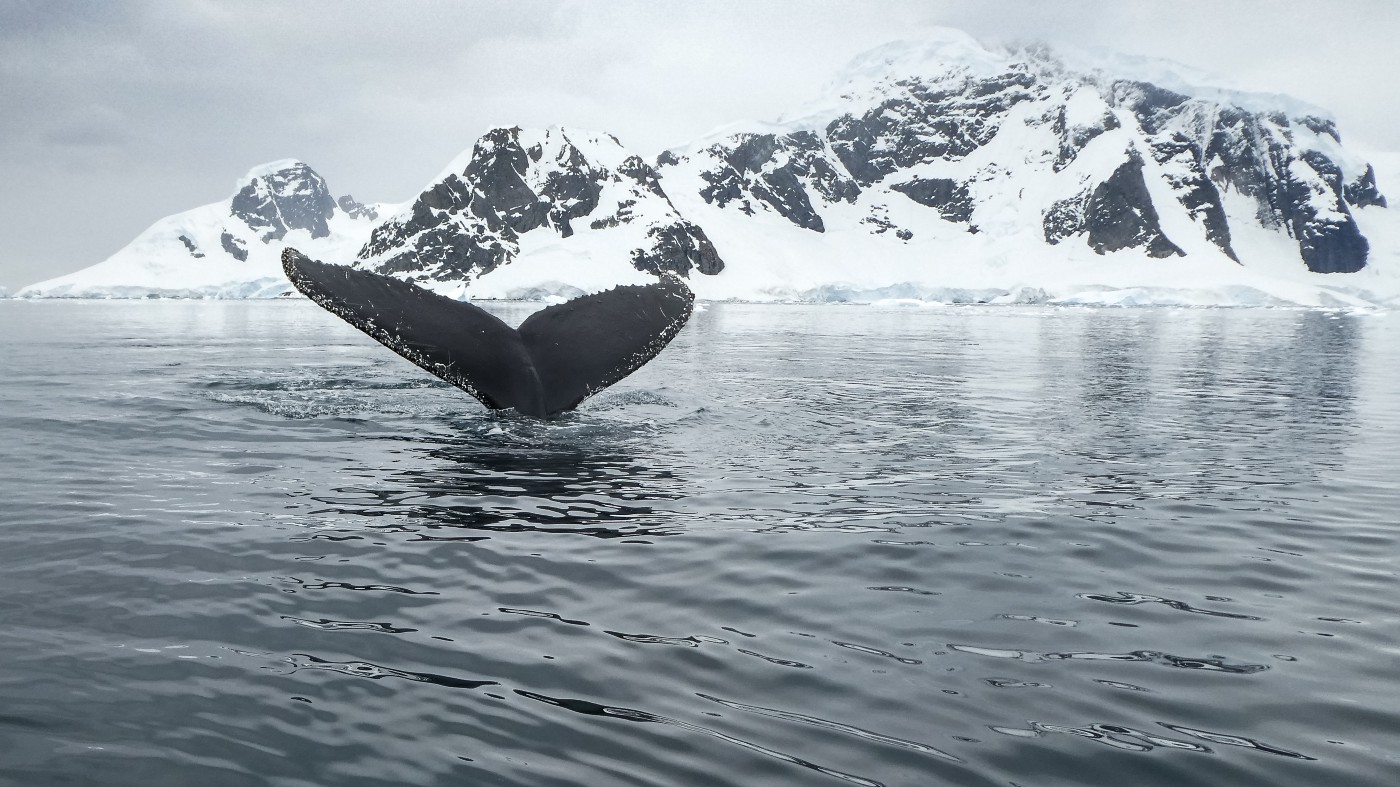 tail fluke of a humpback whale with mountains and snow in the back. Photo by Derek Oyen for Unsplash