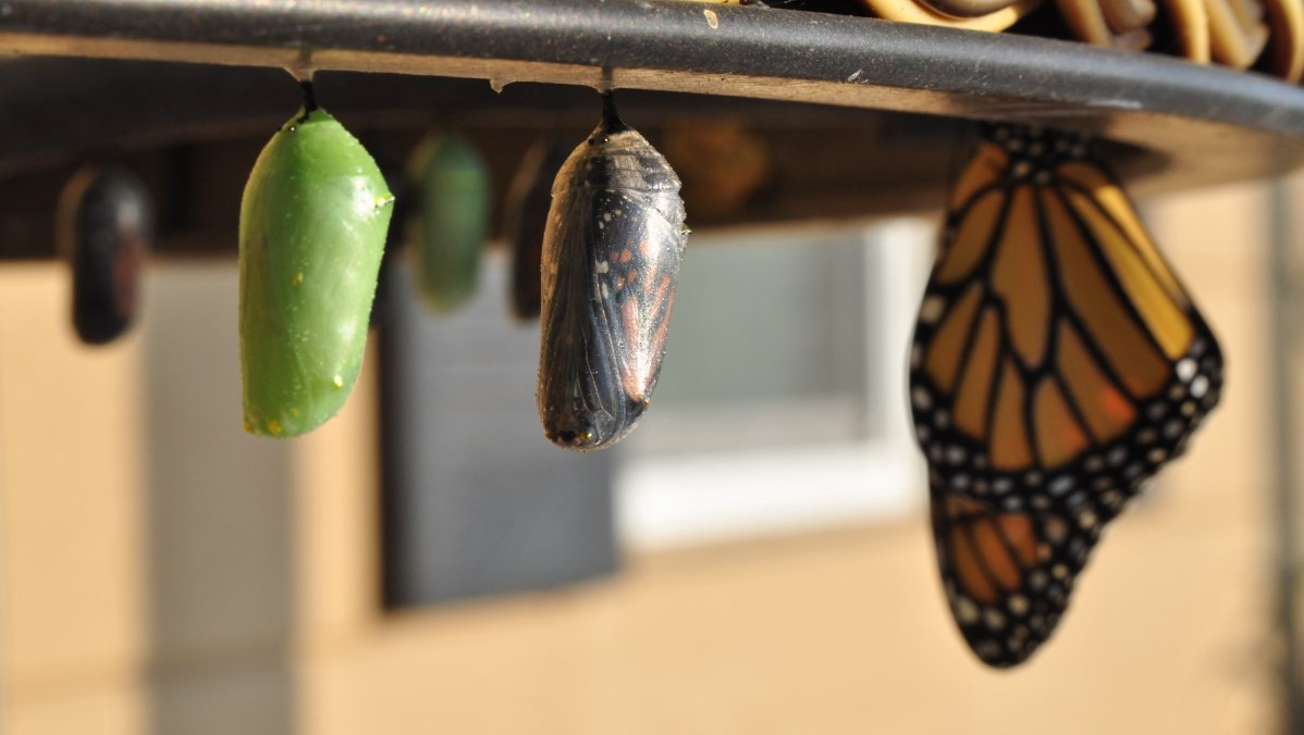Cocoons and butterfly