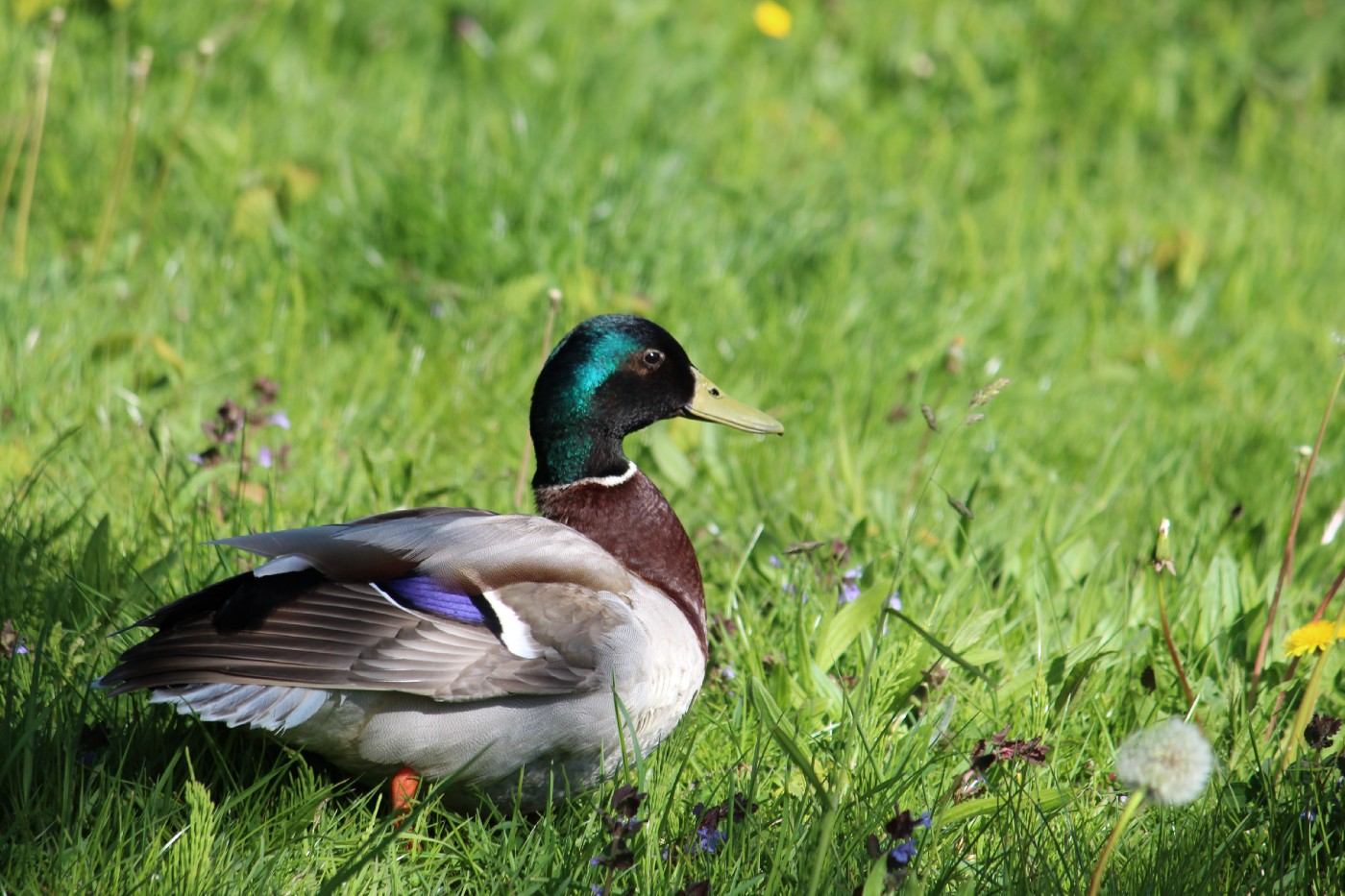 Mallard male duck in grass