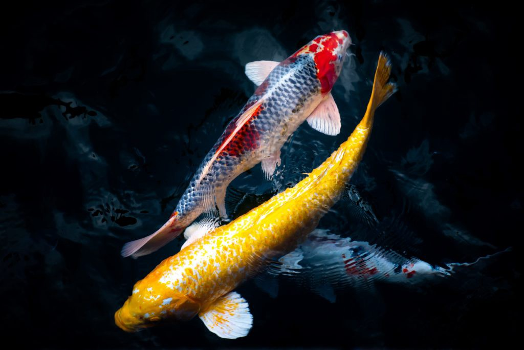 Two different colored koi fish swimming