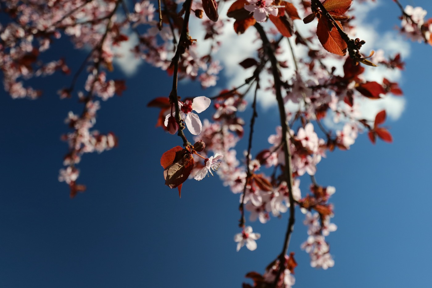 Dainty pink cherry blossoms against a blue sky.