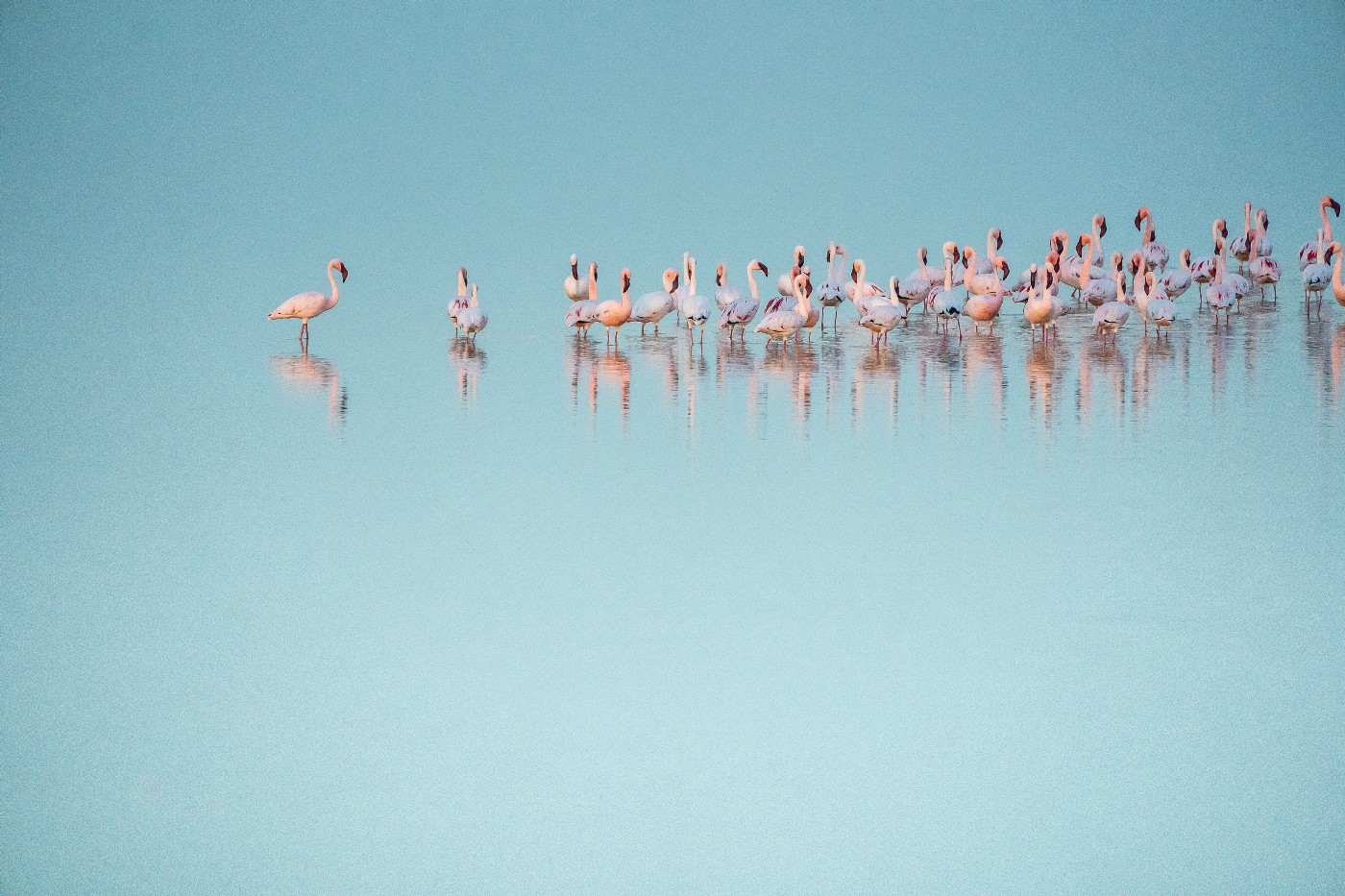 A flamboyance of flamingoes in a lake