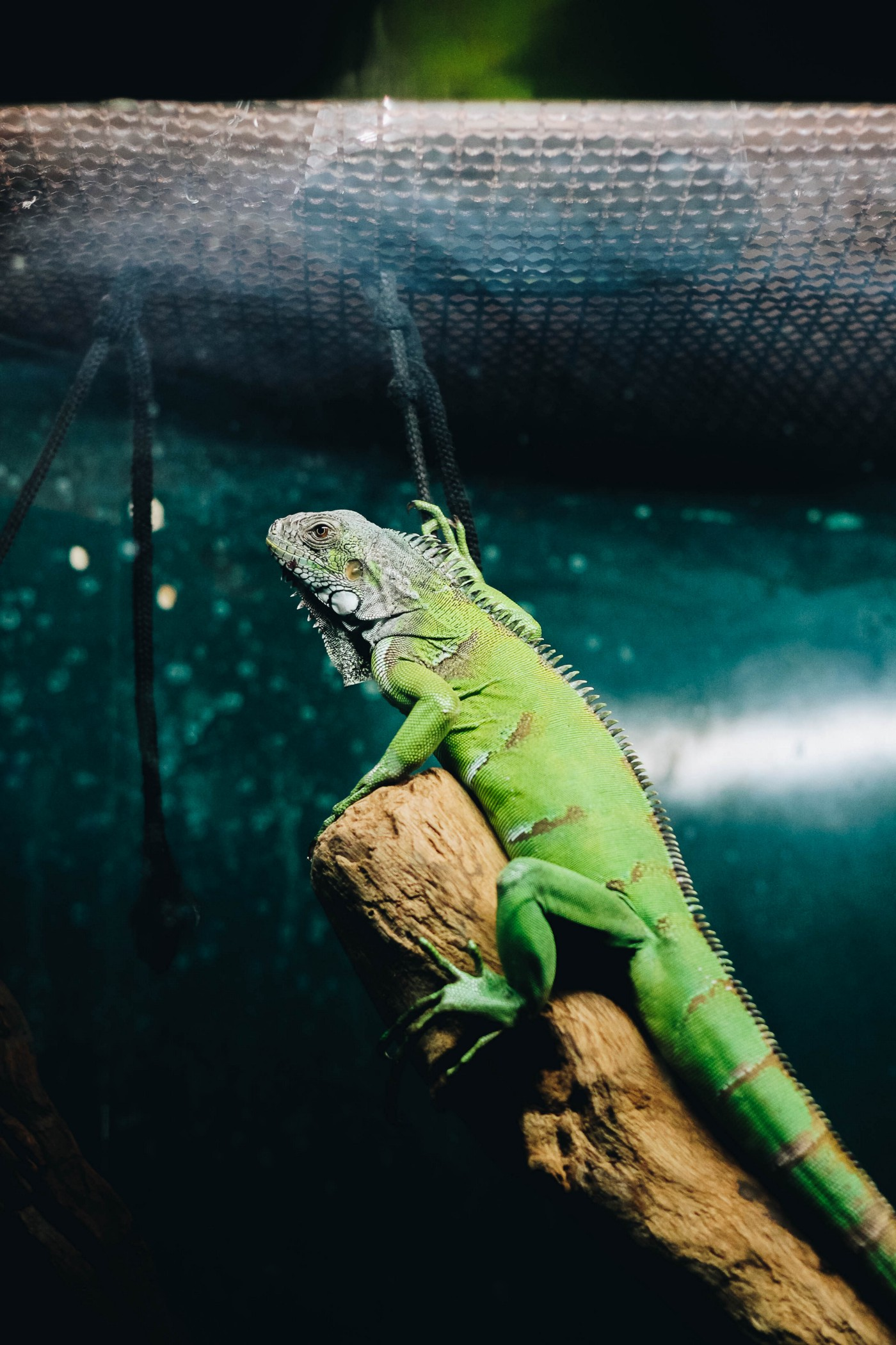 A picture of an Iguana with a dark background