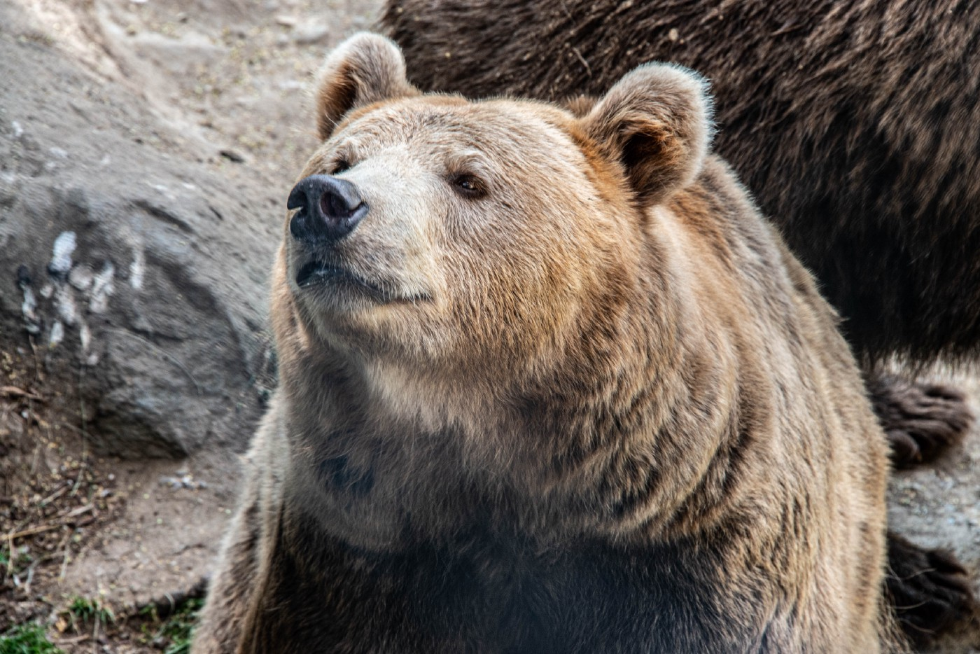 Grizzley Bear