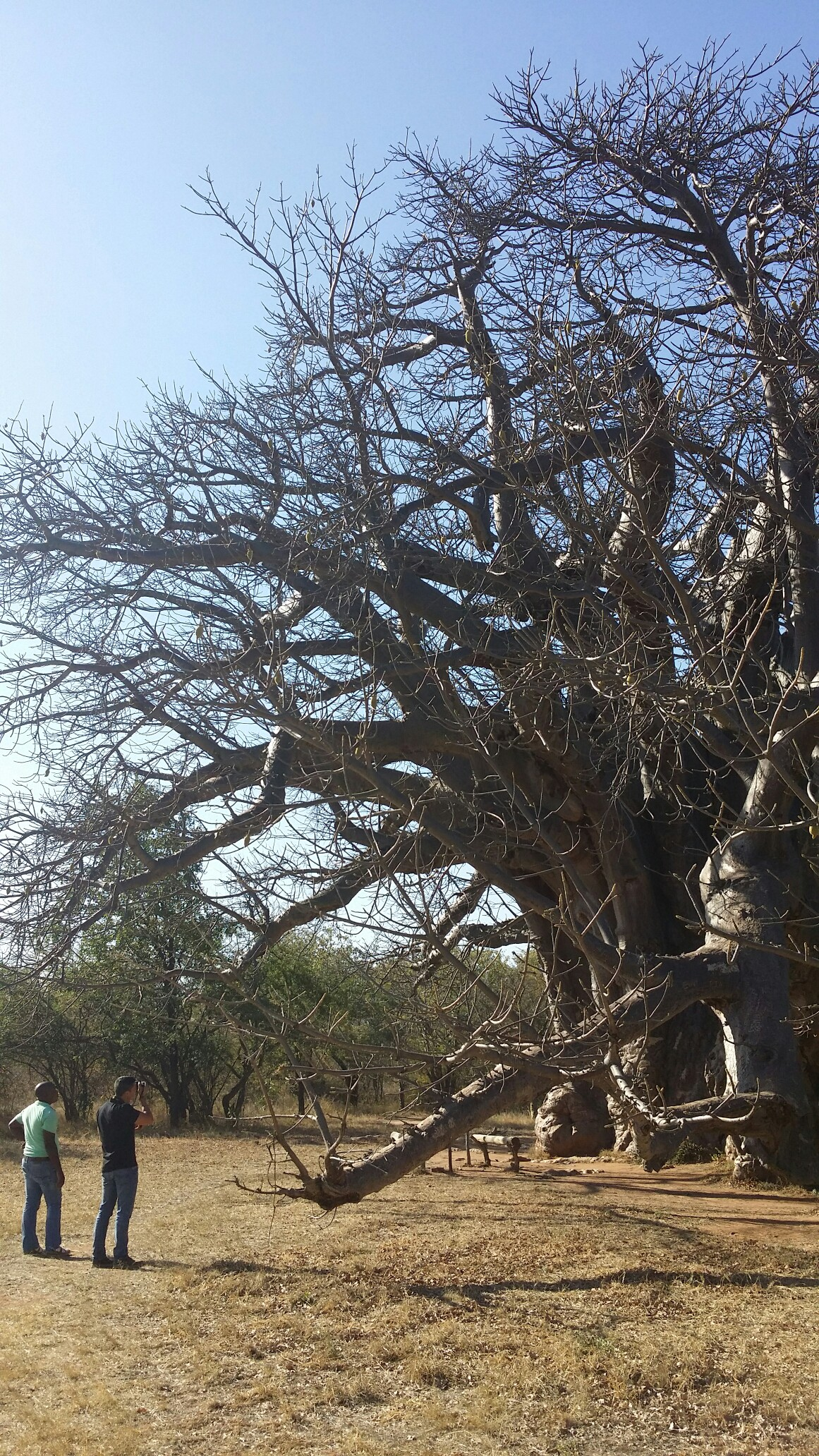 Sagole Baobab – Largest Baobab Tree in South Africa in terms of overall size and dates to almost 2,000 years old.