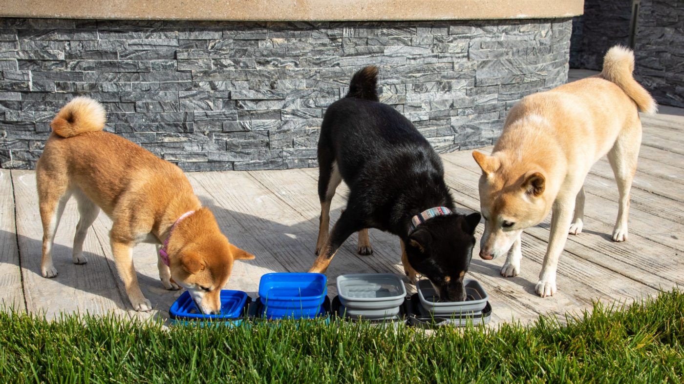 3 shiba inus eating and drinking out of Petique's Portabowl Water and Food Pet Bowl