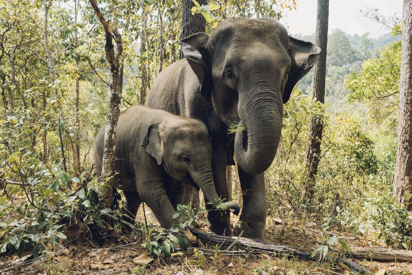 A mother and baby elephant walking through a forest.