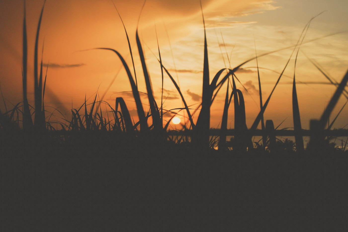 Images is that of the setting sun on the far horizon and in the front are the outline of stalks of grass that can be sugar cane.