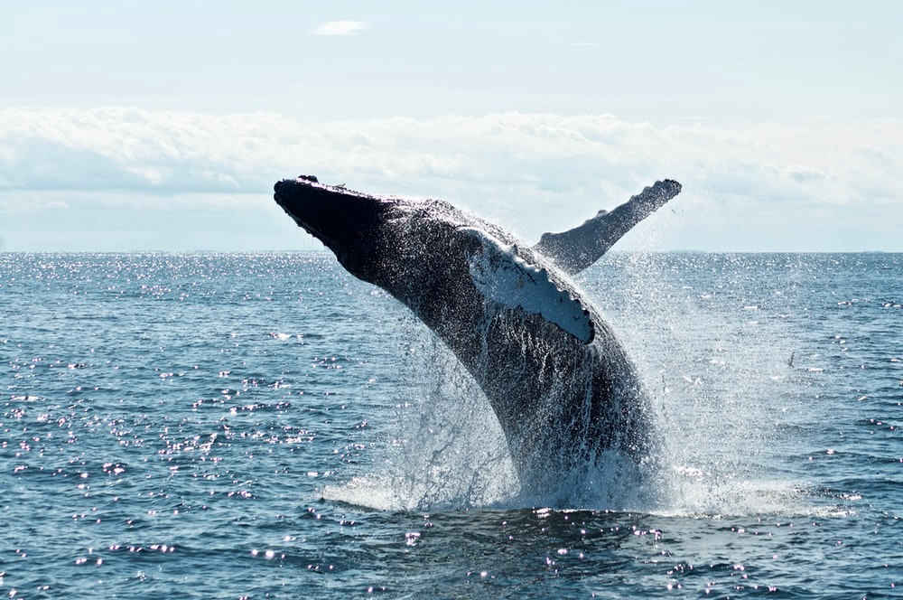 Whale surfacing from ocean
